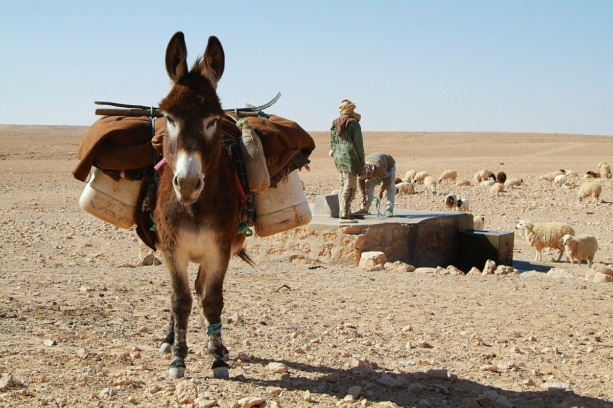 how much weight can a donkey carry