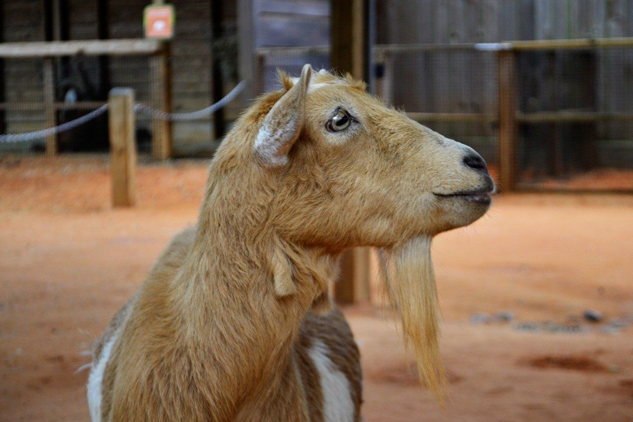 why do you drench a goat