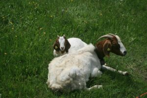 difference between lamb and goat meat