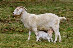 when to start milking a goat after kidding