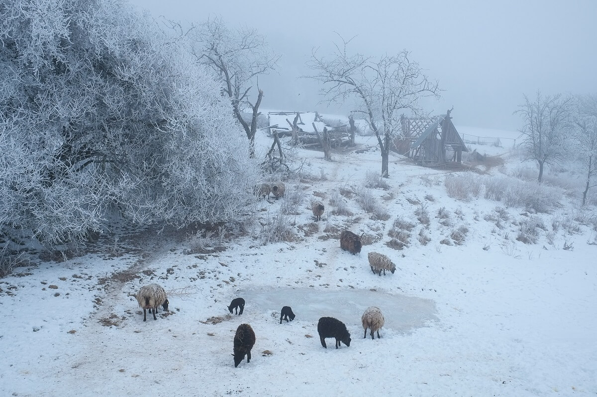 what to feed sheep in winter