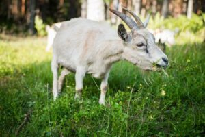 how to trim overgrown goat hooves