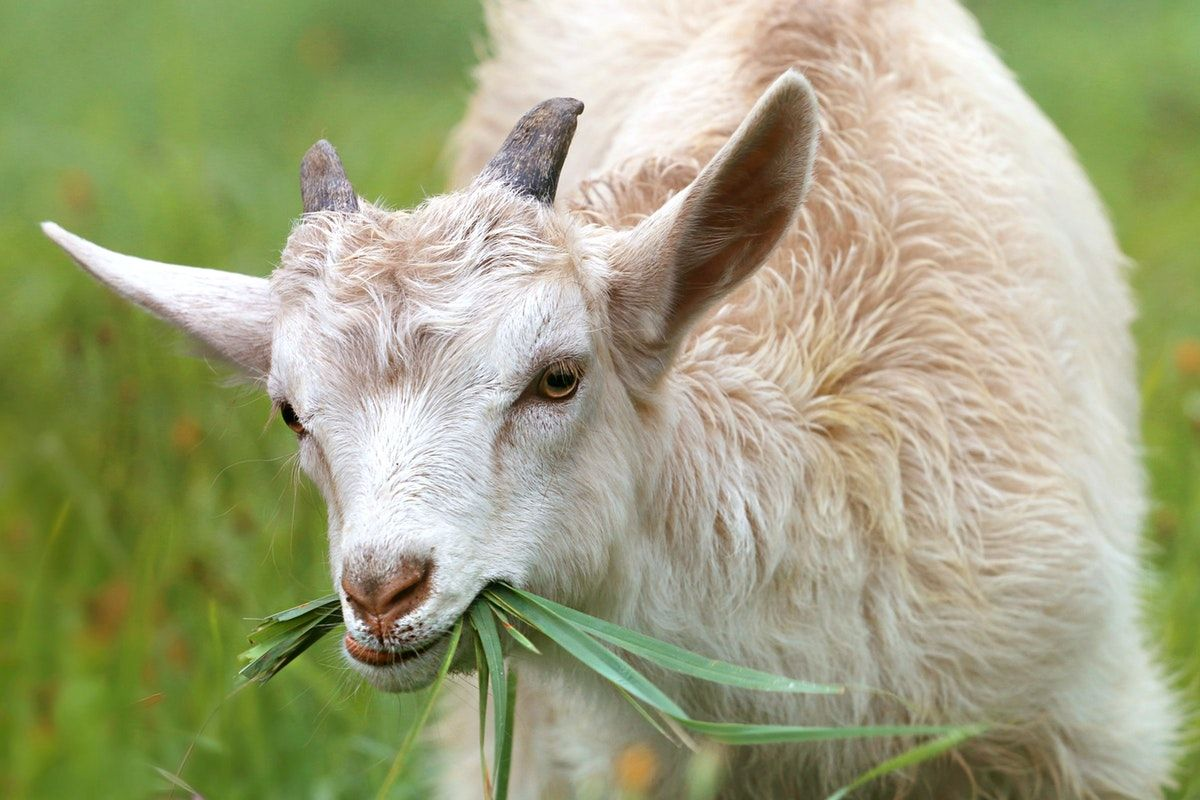 how to stop head butting in goats