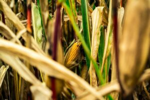 manage corn diseases