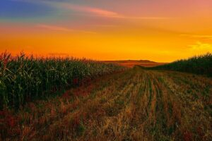 how to grow corn commercially