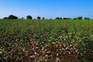 how do you grow cotton