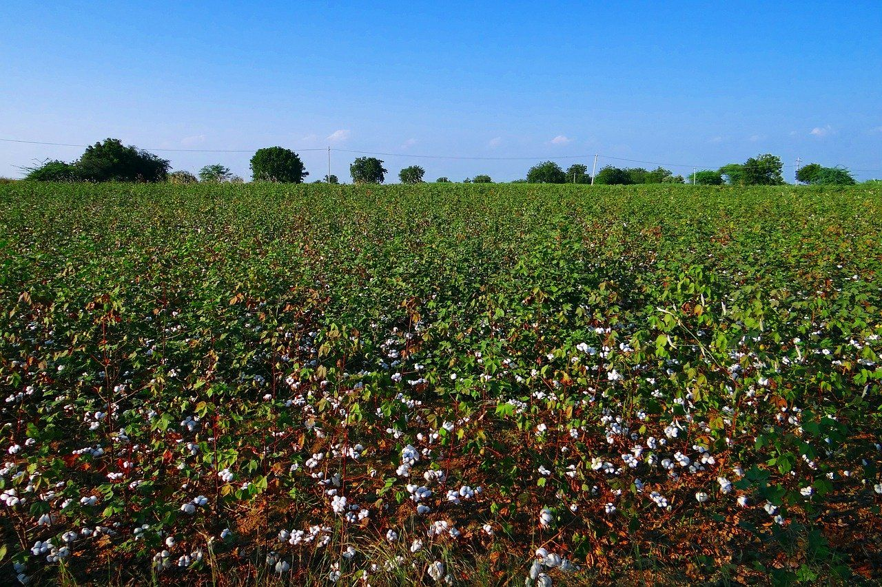 is it hard to harvest cotton