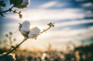 how to grow cotton commercially
