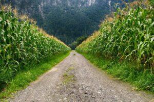 corn management plan