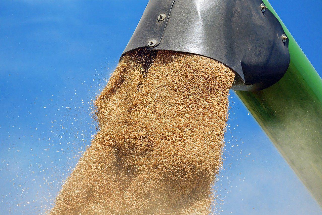 how do you harvest wheat