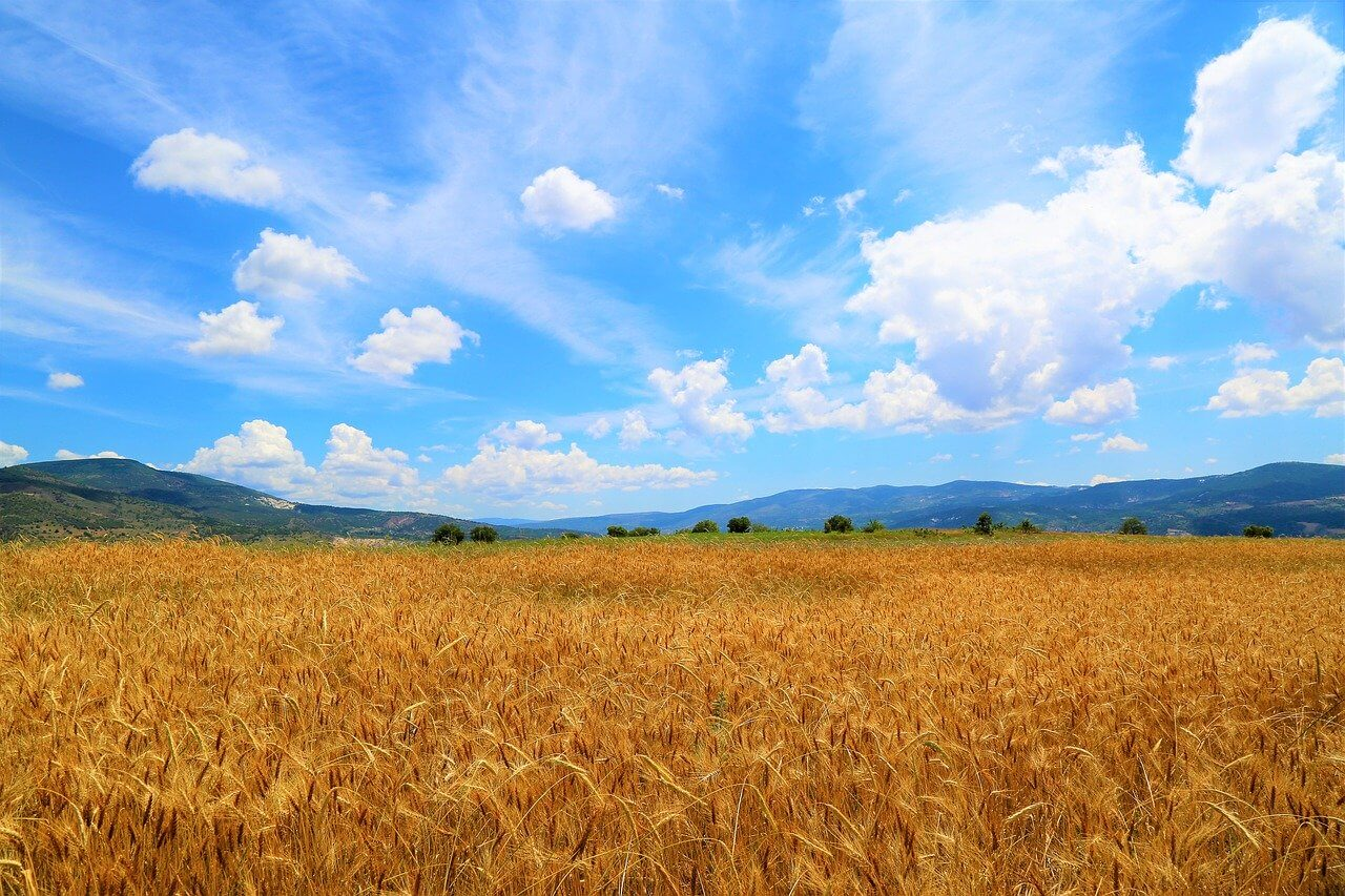 steps to maintain your wheat field
