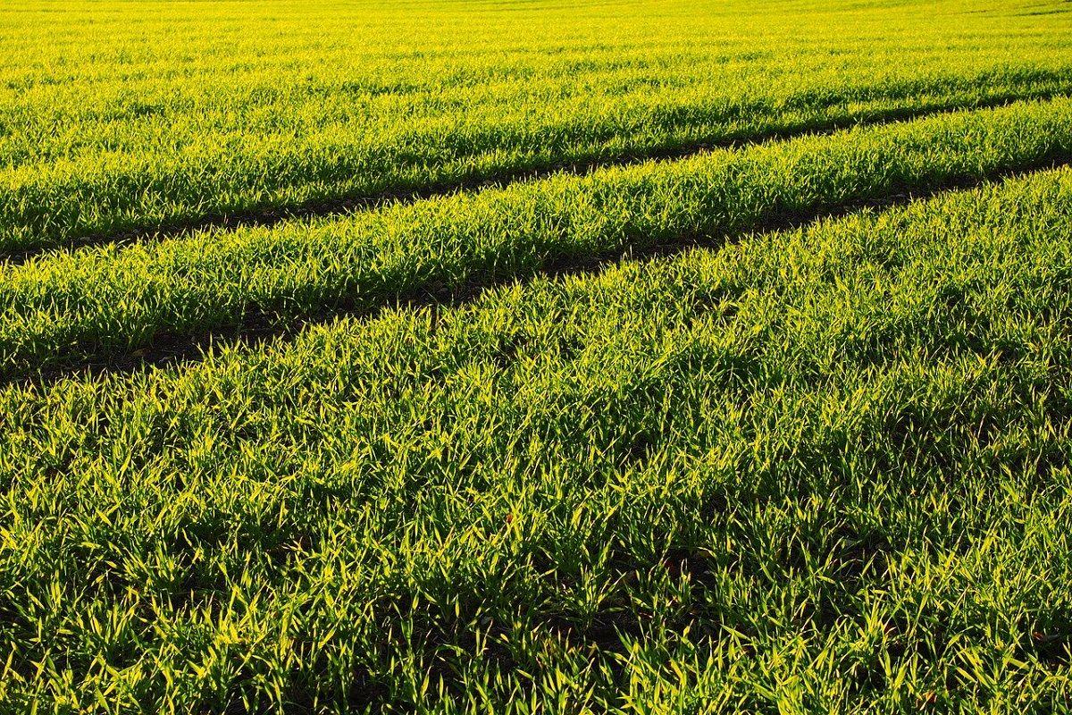 history of wheat farming