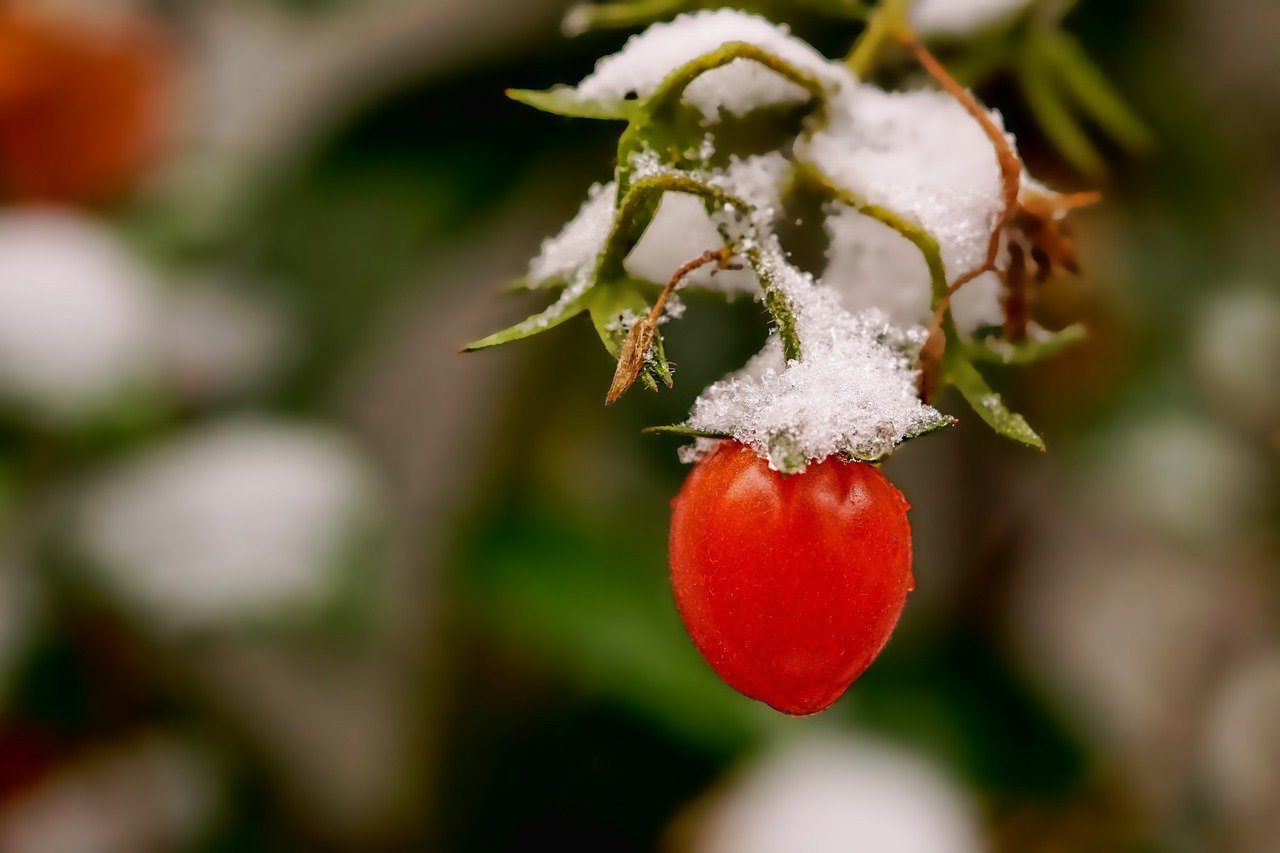 will a cold snap kill tomato plants