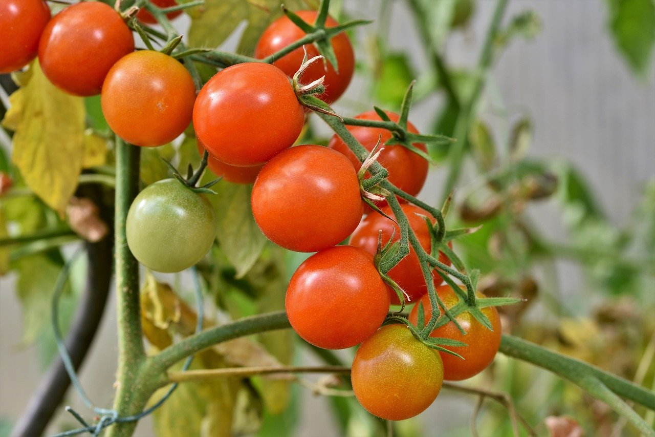 how do you plant tomato plants