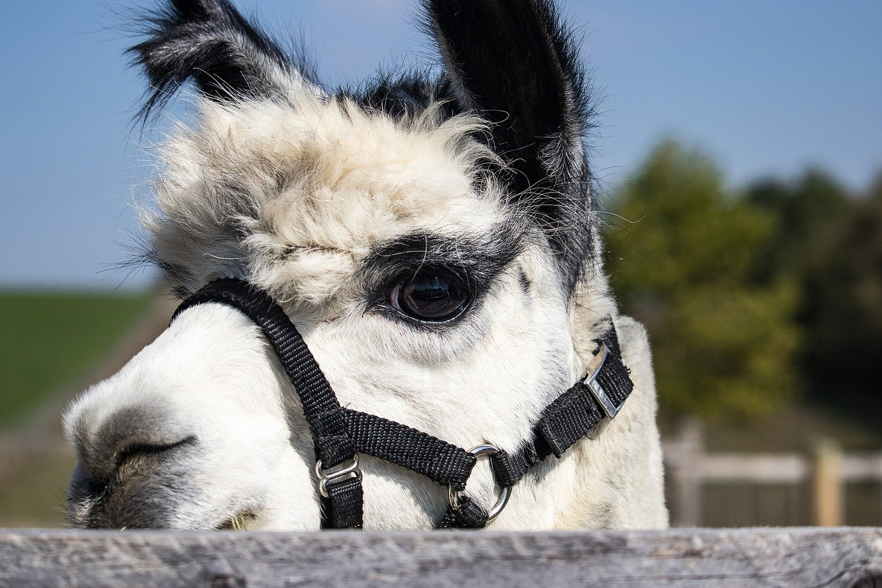 why would you want alpacas