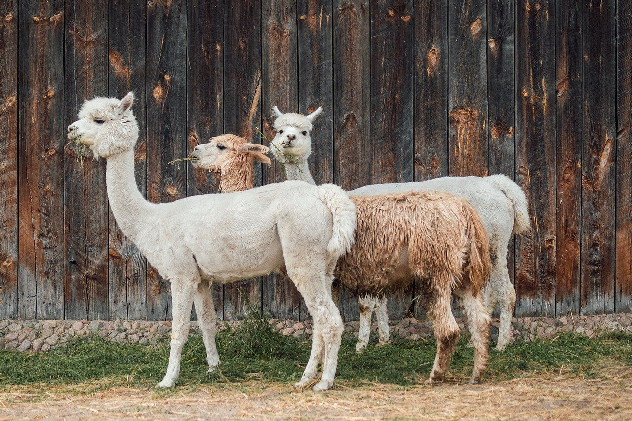 alpaca meat production is not cost effective