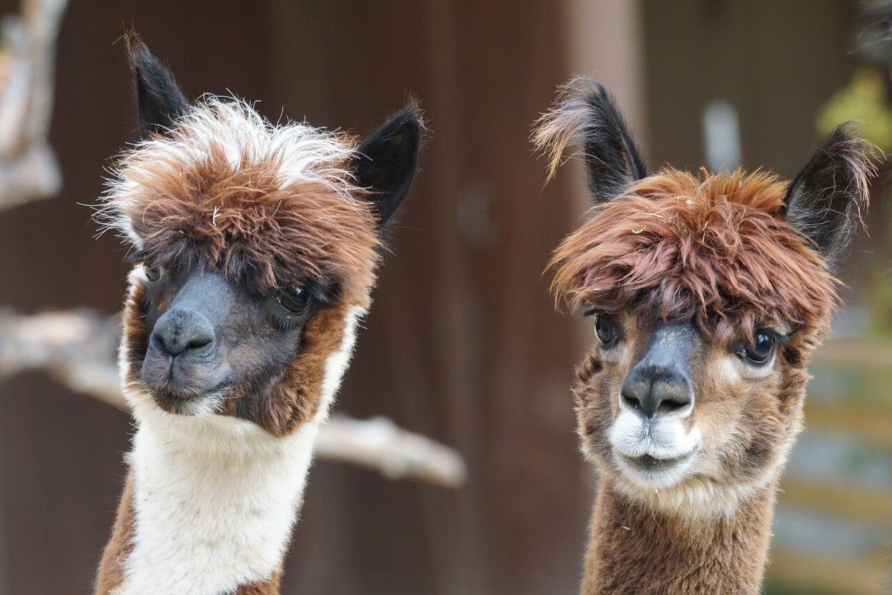alpacas are easy-going