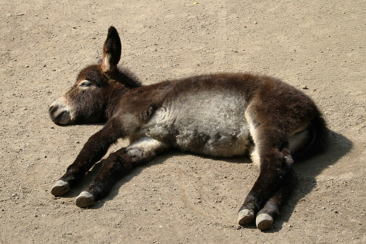 how do donkeys sleep