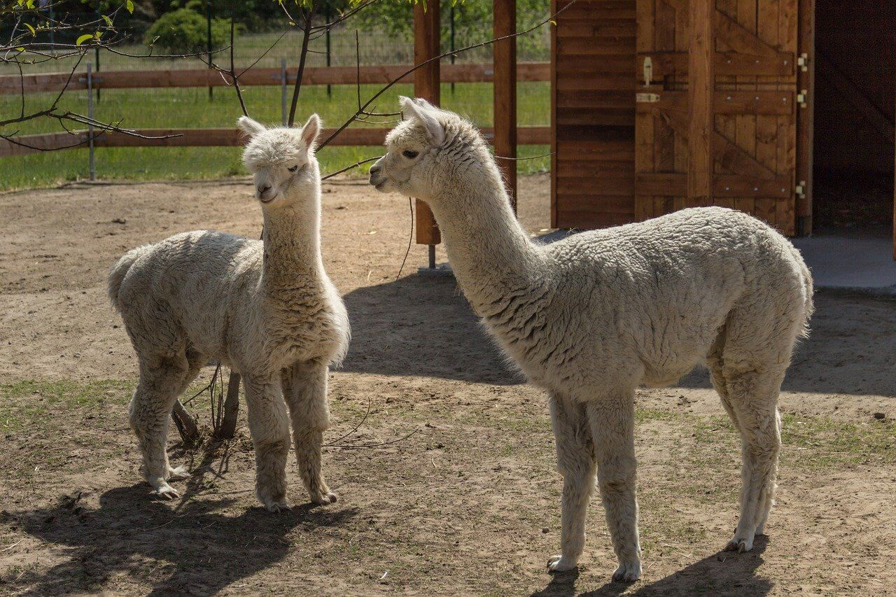 what not to feed alpacas