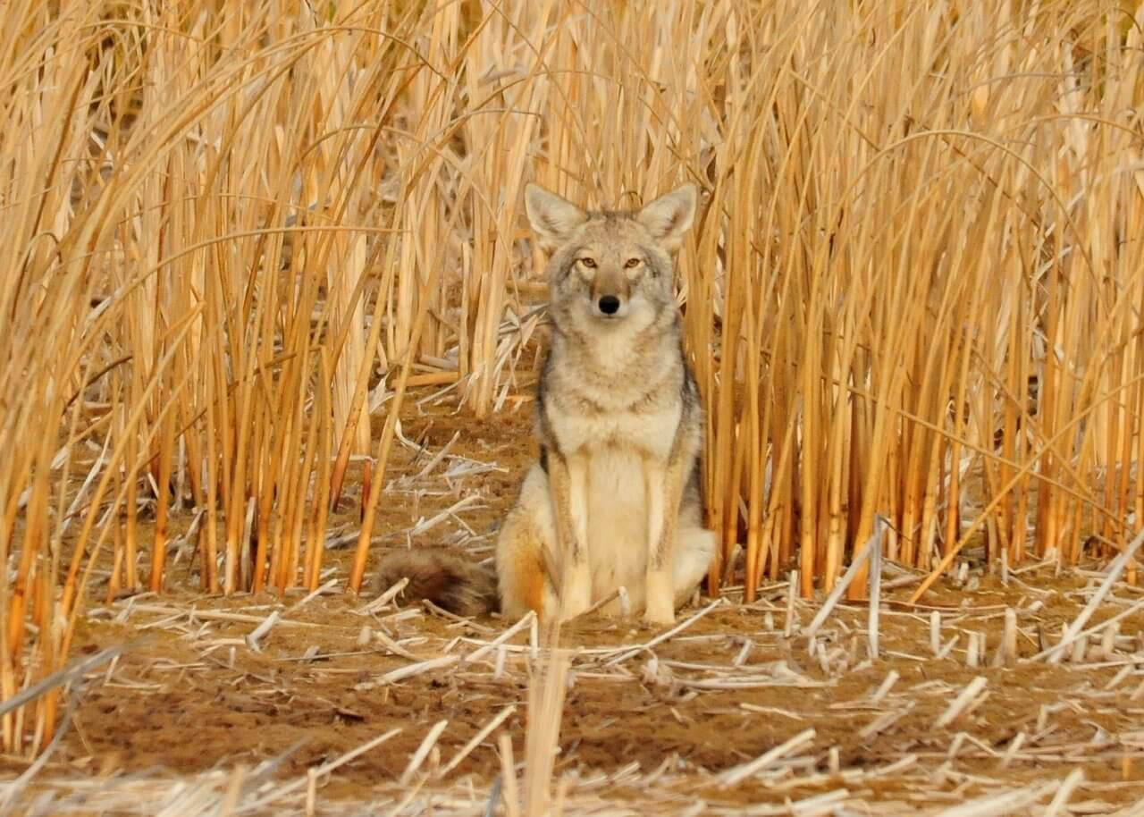 how to keep coyotes away from farm