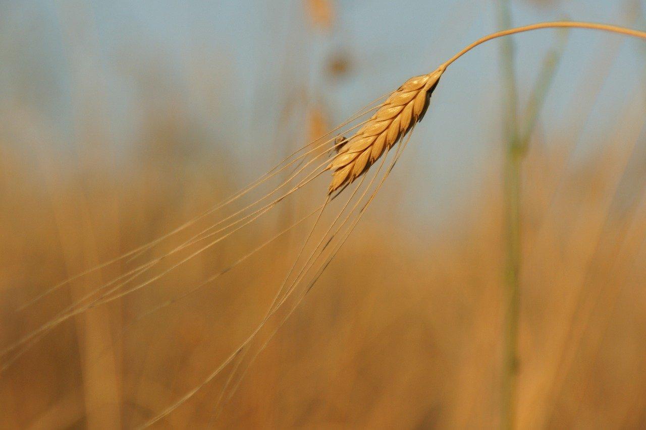 what is einkorn wheat