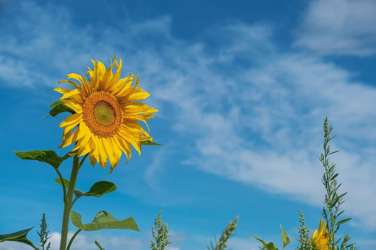 how much sunlight do sunflowers need