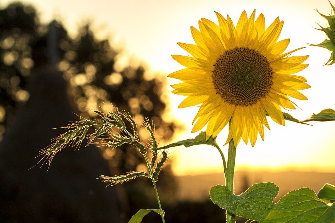 what is a sunflower