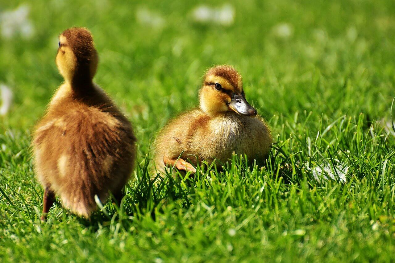 Ducklings need a special duck starter