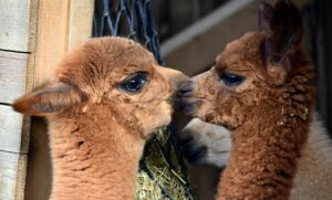 how to breed alpacas
