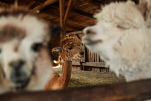 what to feed alpacas in the winter