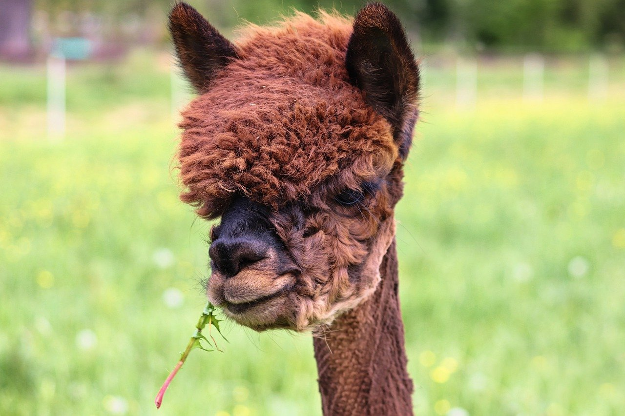 what do alpacas eat