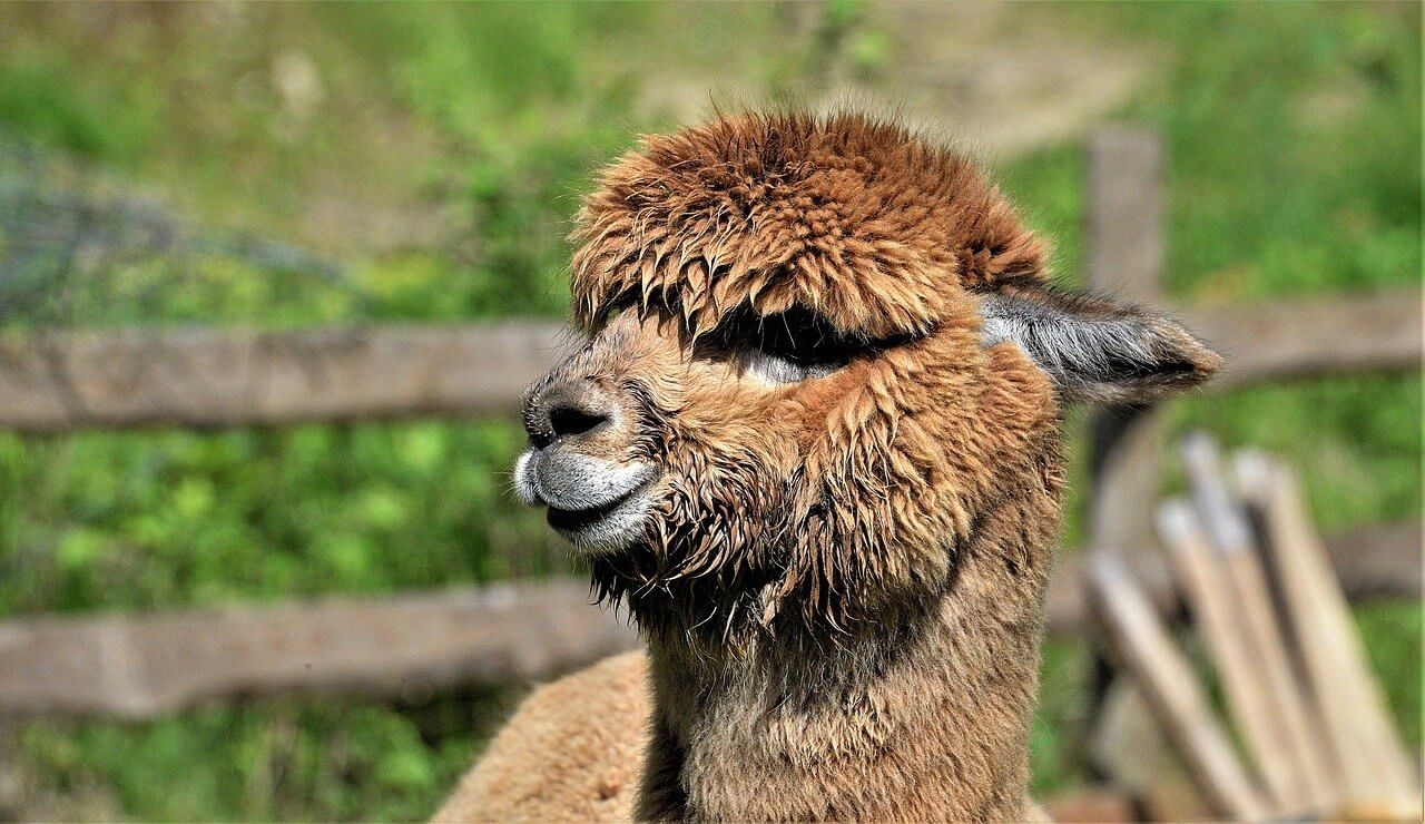 How long does a female alpaca stay pregnant