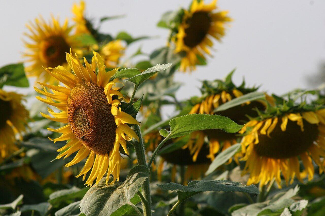 equipment for making sunflower oil