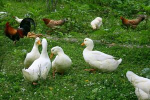 how do you feed ducks and chickens together