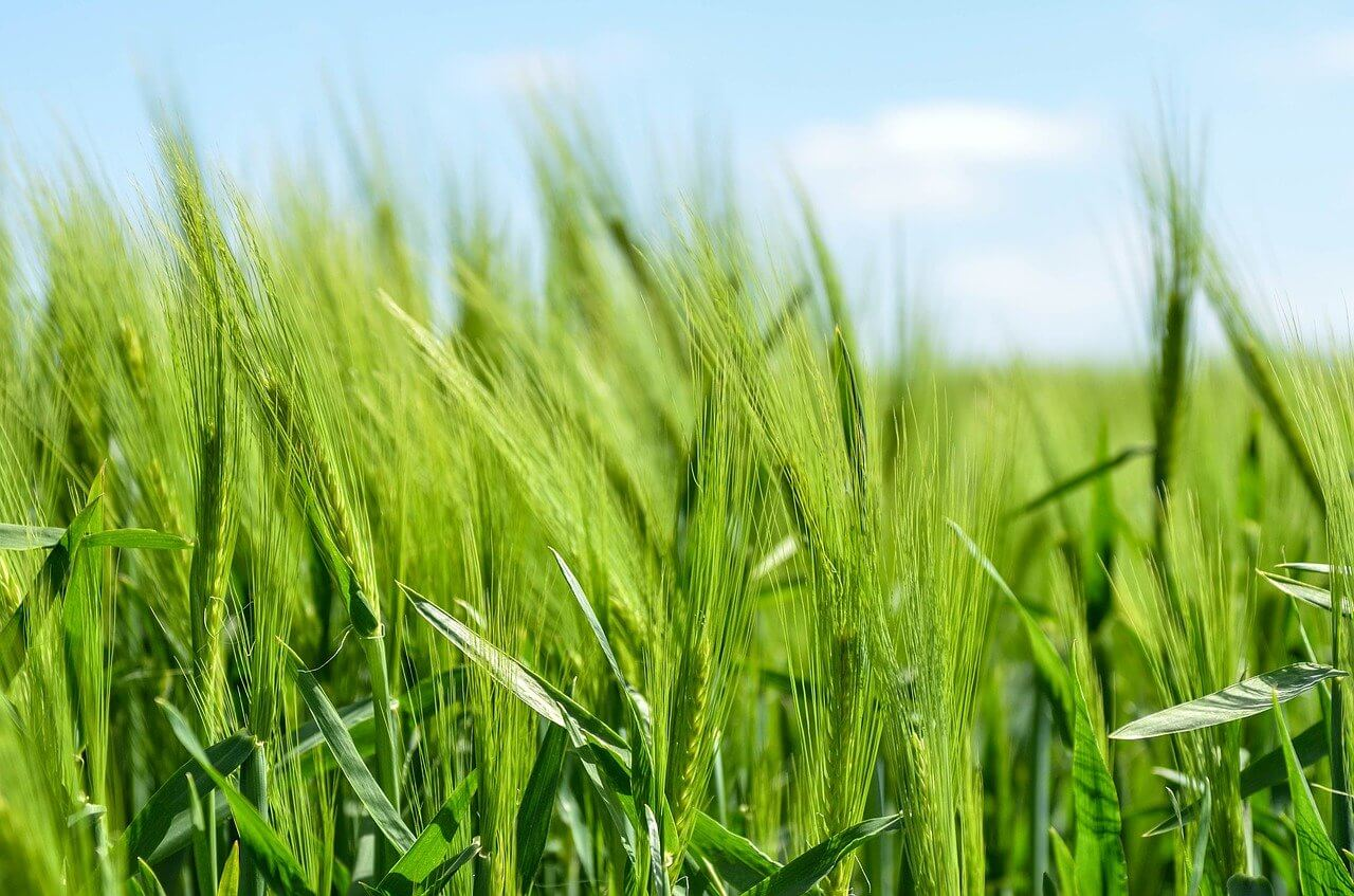 when / how to plant barley