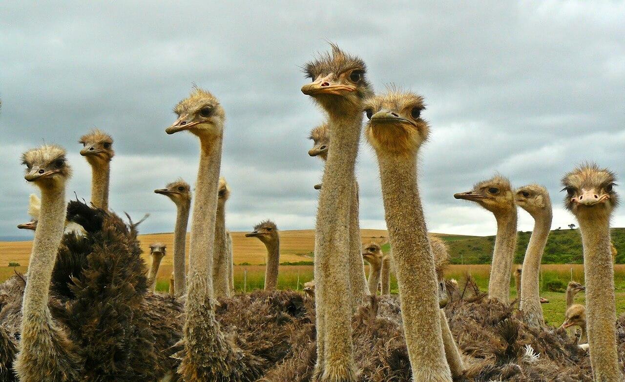 wild vs captive ostriches