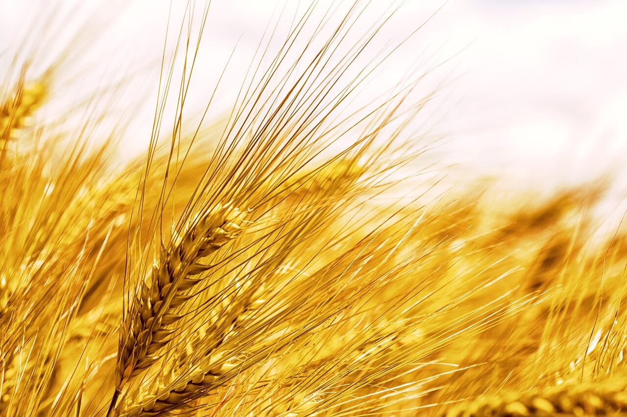 what is barley flour