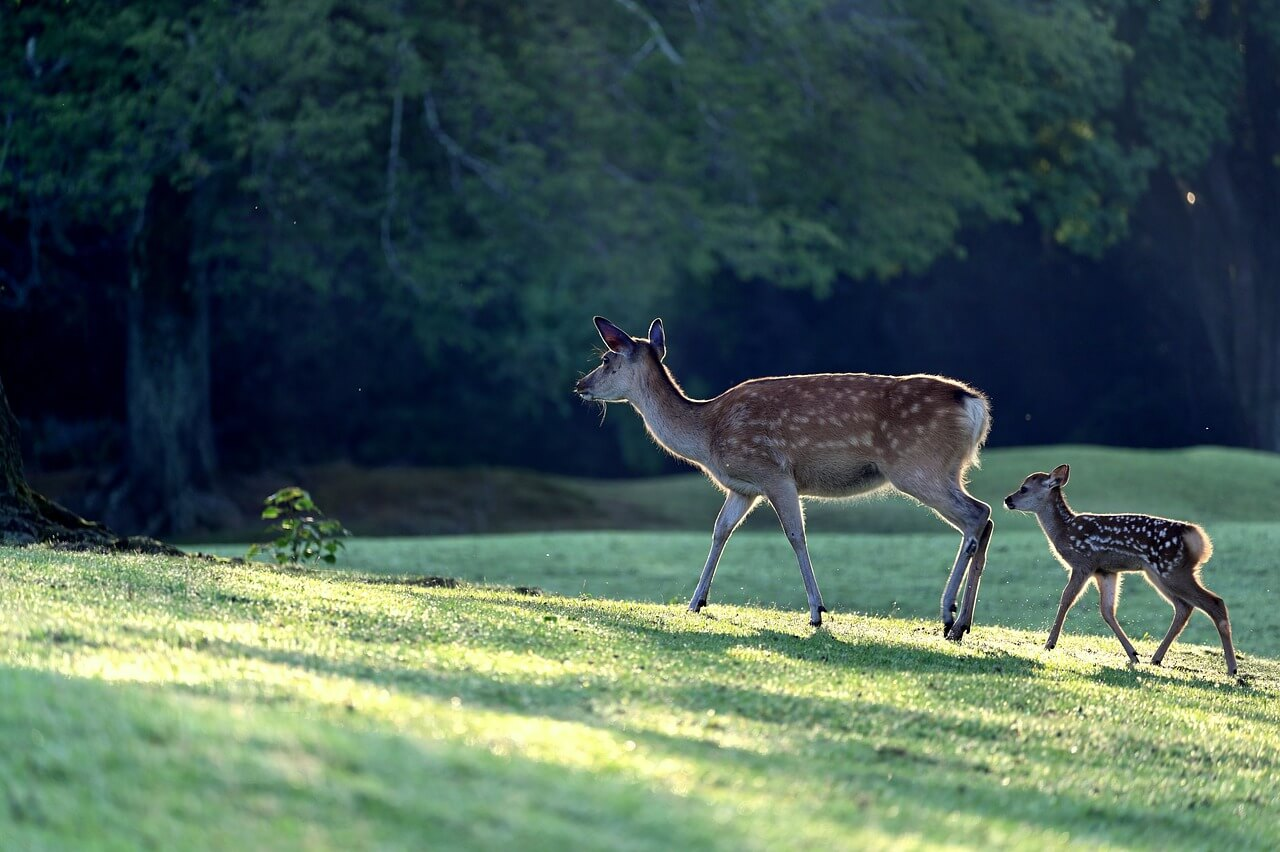 how to grow soybeans for deer