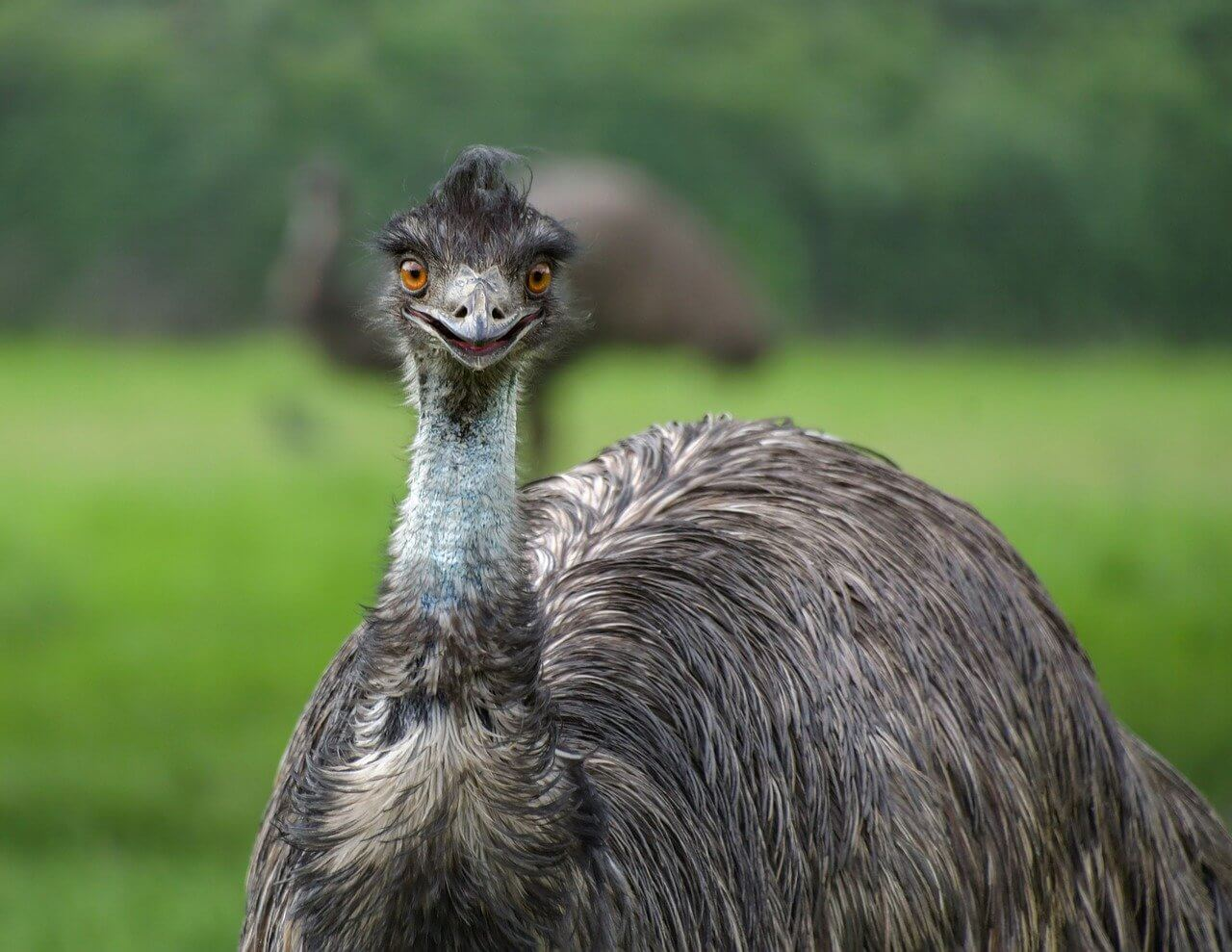 what is the difference between an emu and an ostrich