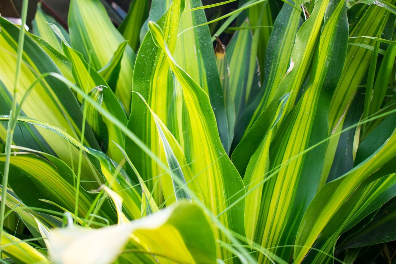 how to prune a corn plant