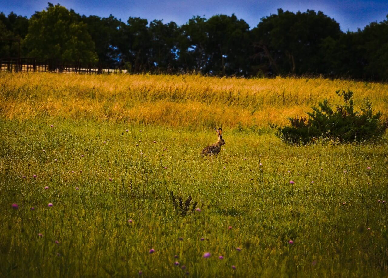 why are jackrabbits bad for ranching