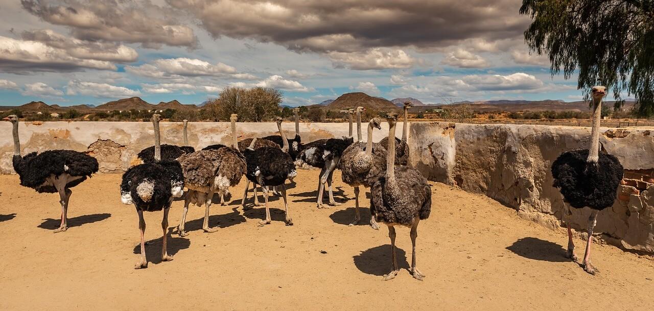 how much money does an ostrich farmer make