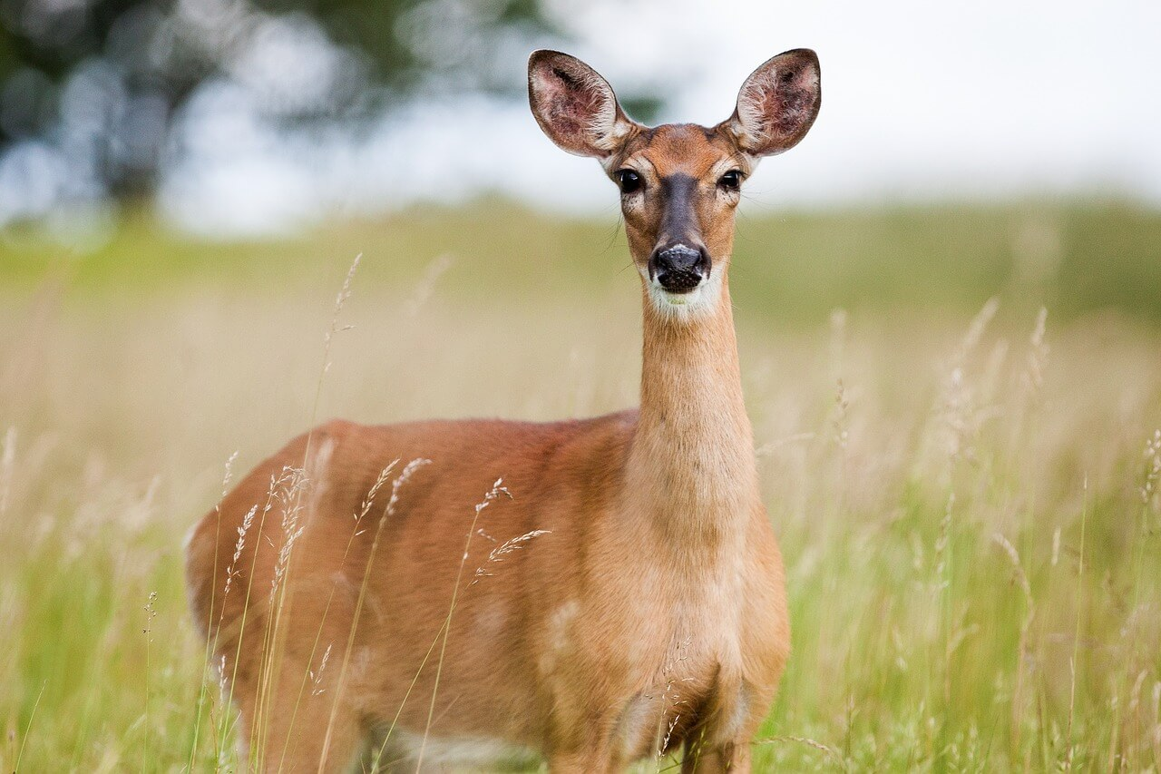 why should you grow soybeans for deer