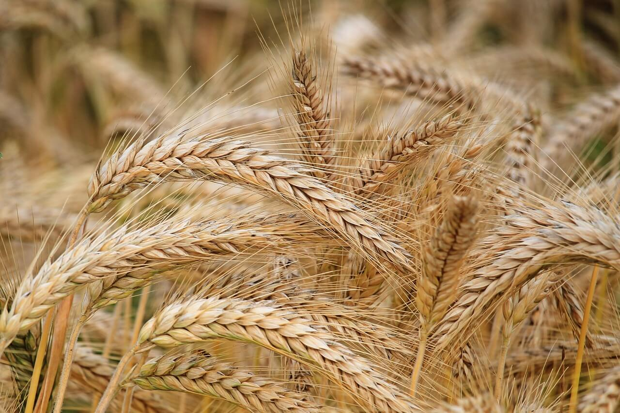 how can you tell the difference between wheat and barley