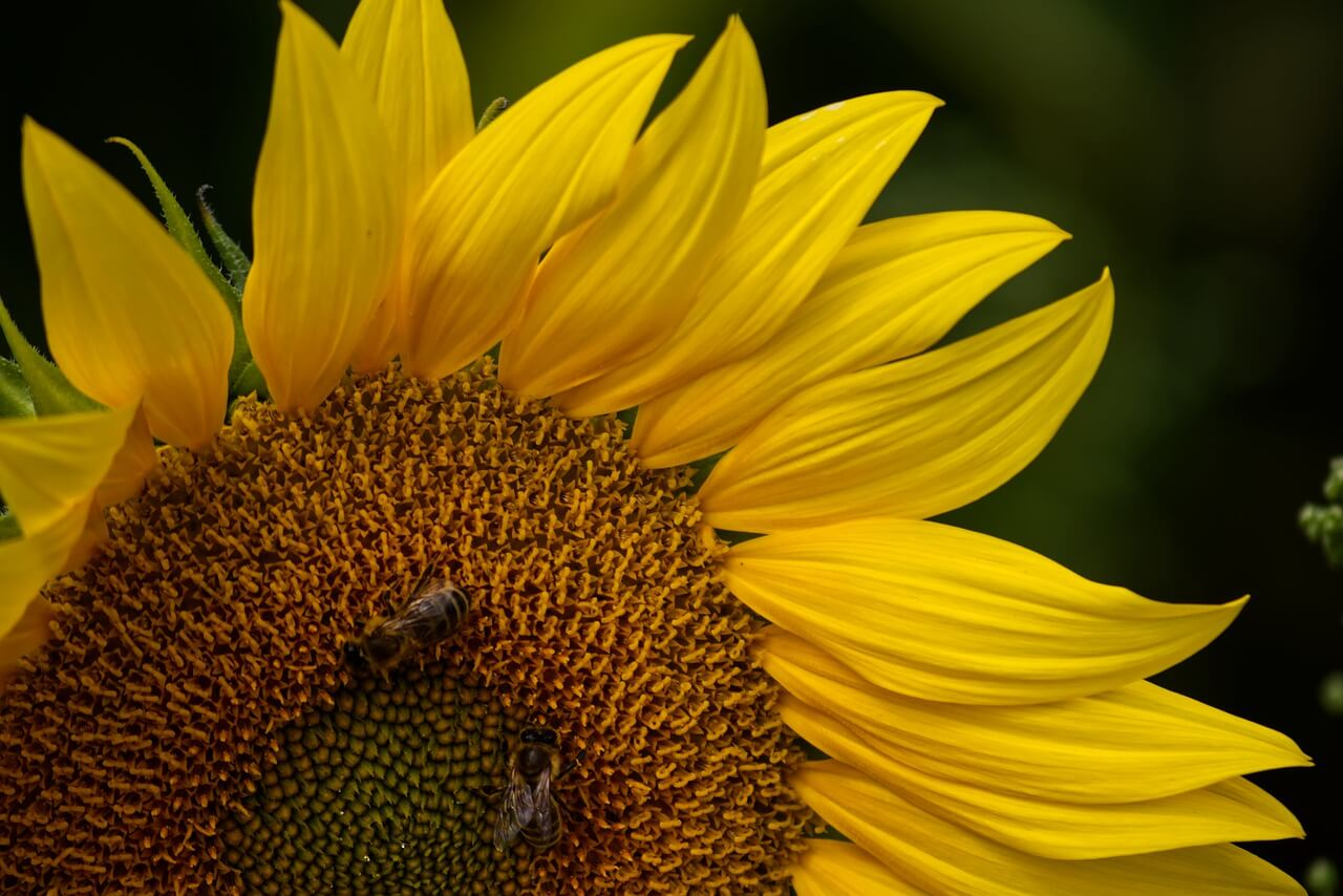 what kind of sunflowers produce edible seeds