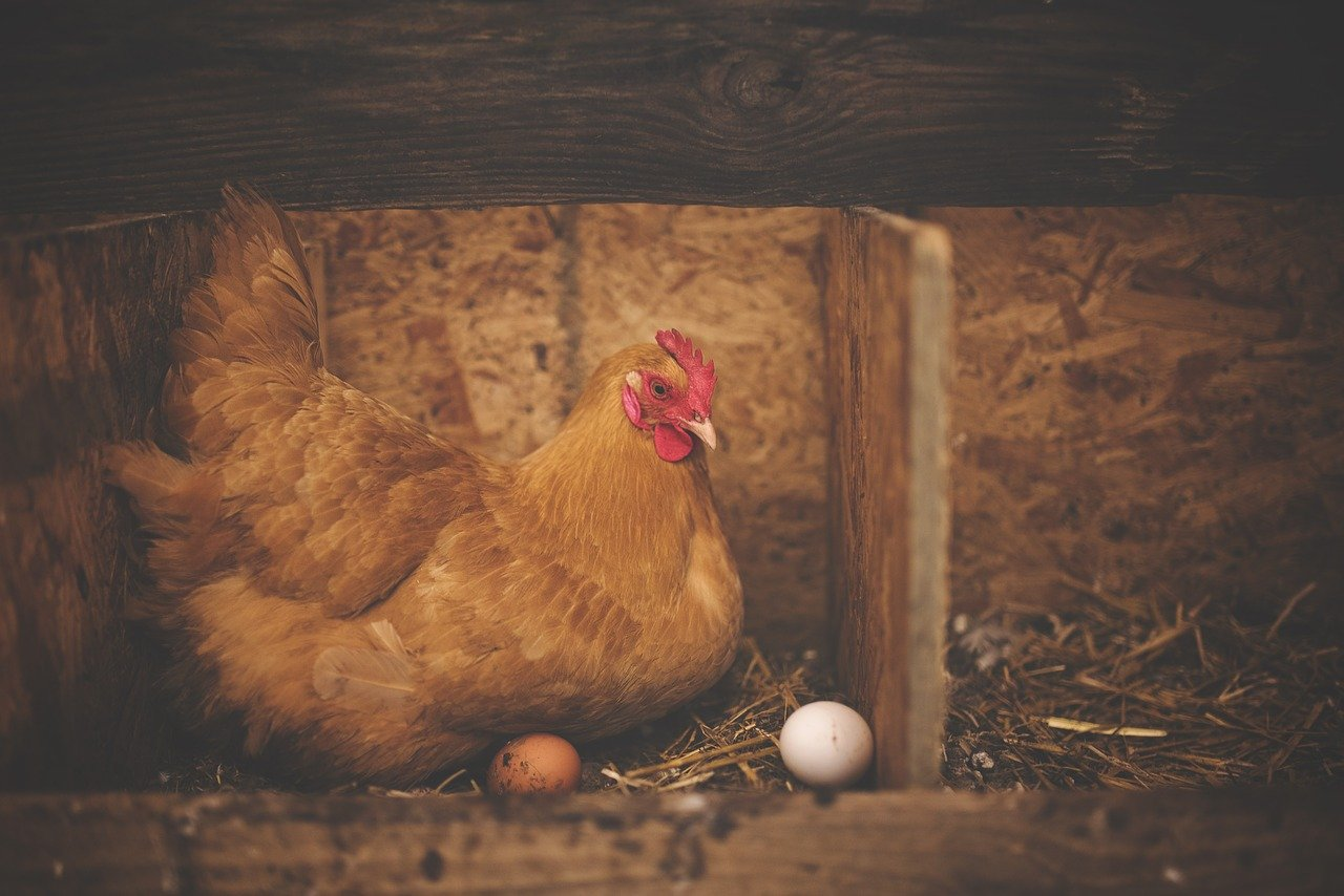 how to tell if a chicken is laying eggs