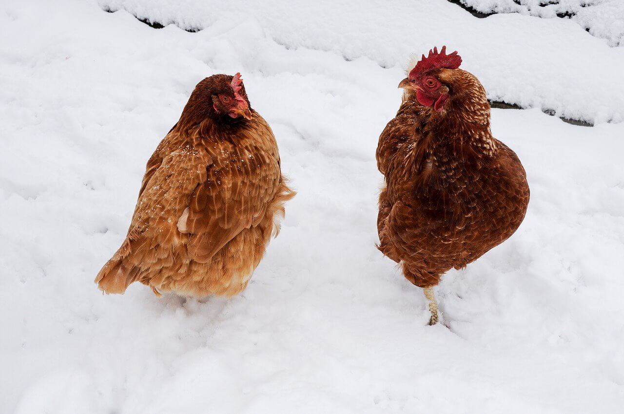 can chickens survive winter without heat