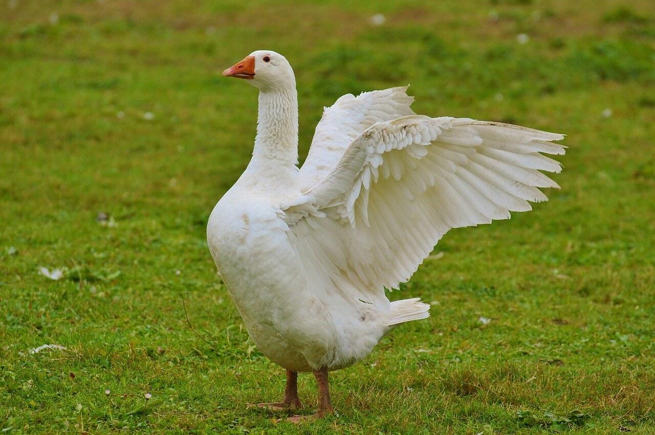 how often do geese eat