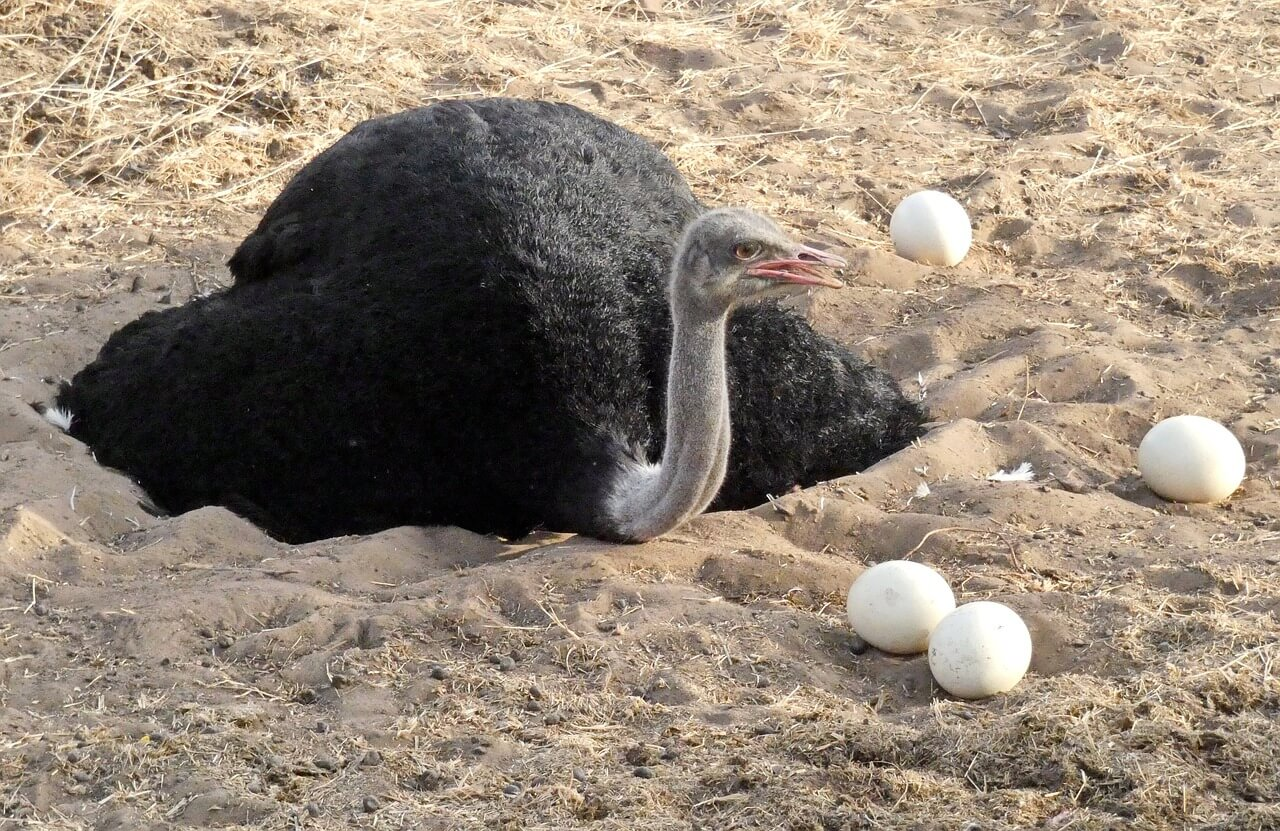 Ostrich Egg Basics