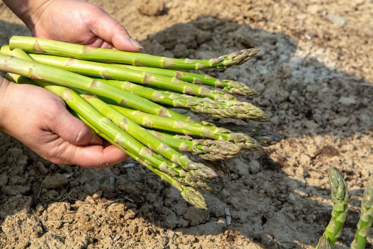 what are the parts of asparagus called